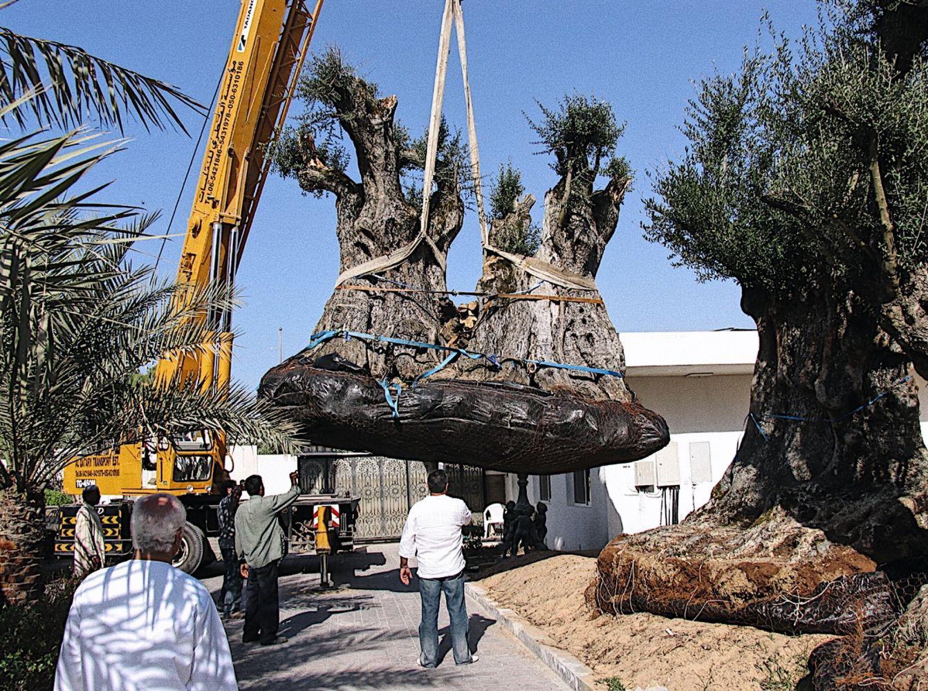 Chantier à Dubai. Plantations d'oliviers mi